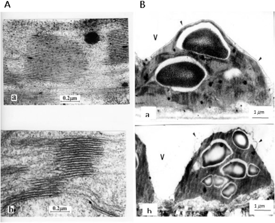 Fig. 9. Ultrastructural features of chloroplasts (A) isolated from pea leaves non-exposed (a) 24 h. Bars equal 0.2 mm. B e changes in tonoplast after 24 h exposition of leaves with Nap