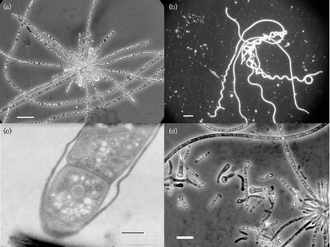 Fig. 1. Morphology of strains BLT (a, c) and G1T (b, d). (a) Rosette with sulfur globules; (b) helical cell shape; (c) mucous cover around cells; (d) modified end cells of trichome. Bars, 10 mm (a), 20 mm (b, d) and 1 mm (c).