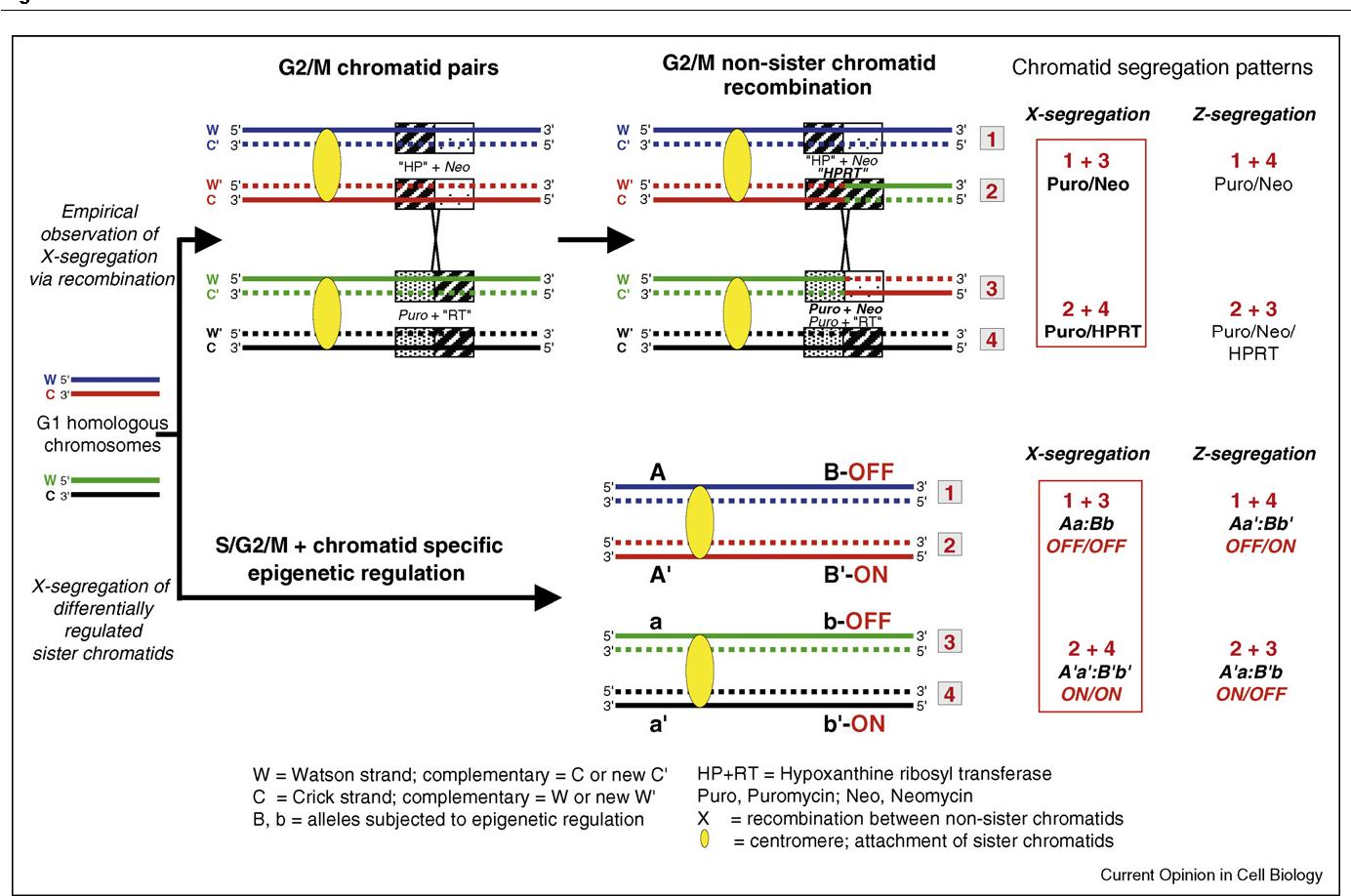 Stem cell identity and template dna strand segregation semantic figure 2 maxwellsz