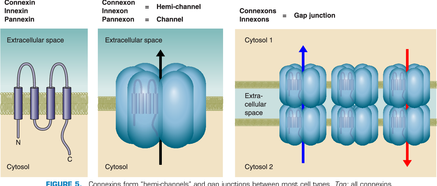 """connexins form """"hemi-channels"""" and gap junctions between most cell"""