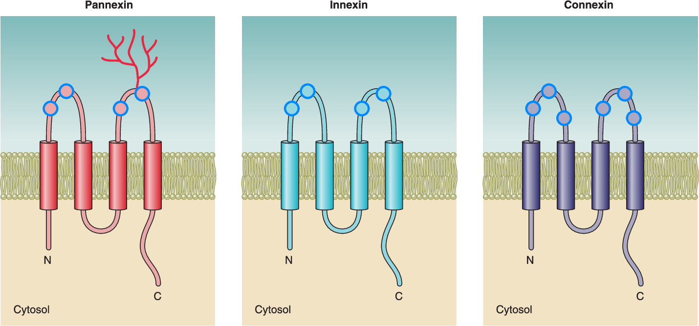 Figure 4 from Connexins: key mediators of endocrine function ...