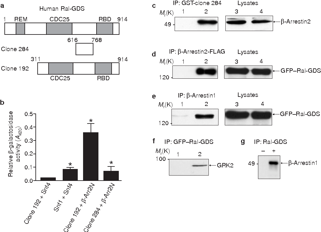 Figure 1 Identification of Ral-GDS as a β-arrestin-interacting protein. a, A schematic representation of the Ral-GDS clones (clone 284 and clone 192) identified in the yeast two-hybrid screen of human mammary and brain cDNA