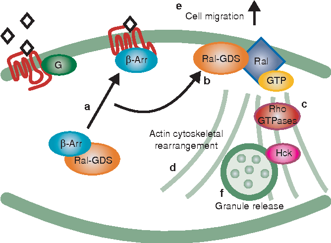 Figure 8 A model illustrating the regulation of Ral-GDS by β-arrestins. Agonist activation of the fMLP receptor results in dissociation of β-arrestin–Ral-GDS protein complexes (a) and the translocation of β-arrestin with Ral-GDS to the plas-