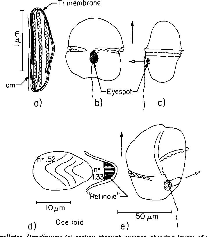 Figure 11 From Light Antennas In Phototactic Algae