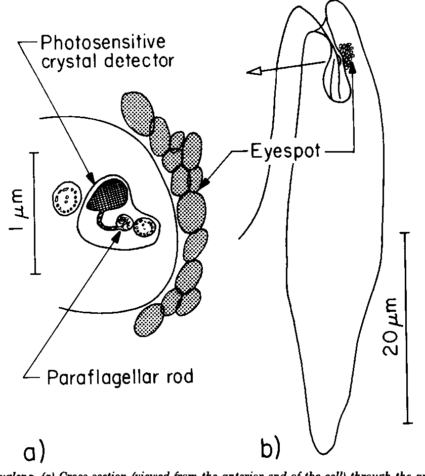 Figure 13 from Light Antennas in phototactic algae. - Semantic Scholar