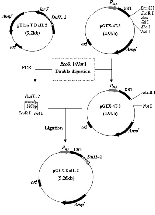 Figure 1 From Cloning Expression In Escherichia Coli And