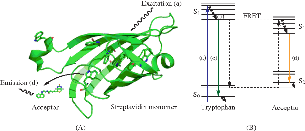 Figure 2 from intrinsic tryptophan fluorescence in the detection and illustration and jablonski diagram of the intrinsic frster resonance energy transfer technique ccuart Gallery
