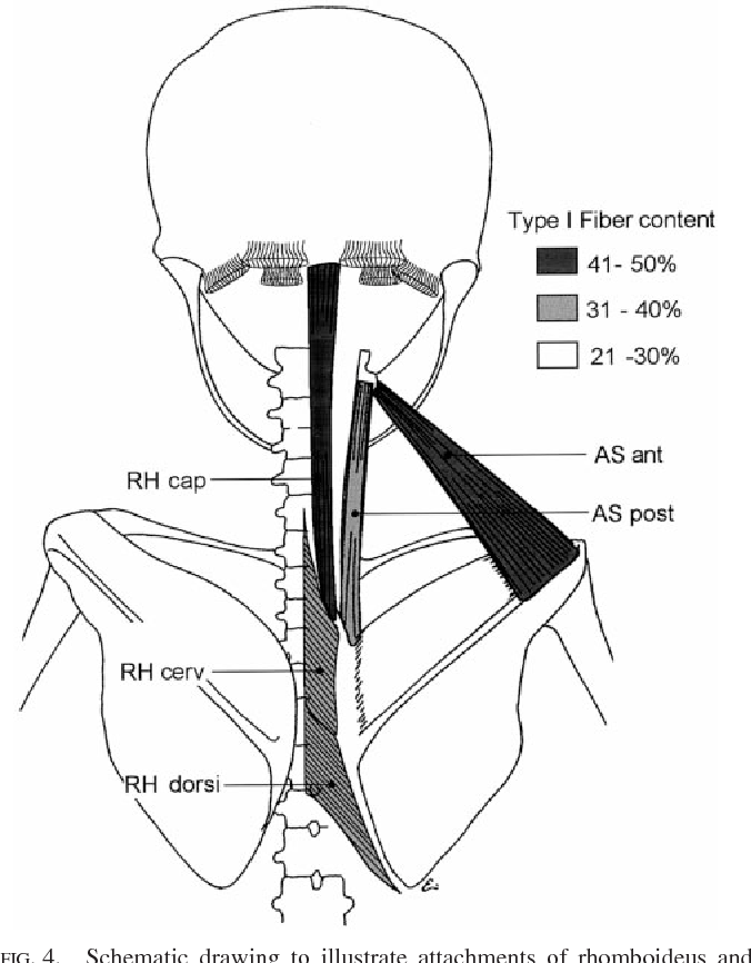 Figure 4 From Neck Muscles In The Rhesus Monkey I Muscle