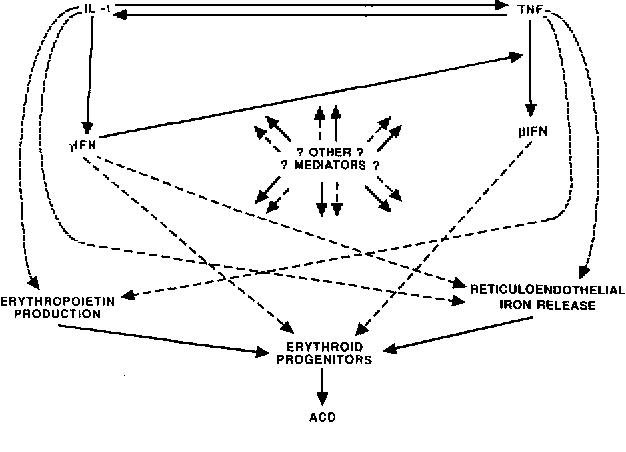 Fig 6. Schematic diagram representing effects of inflammatory cytokines on processes involved in the impairment of erythropoiesis in ACD. Positive regulatory effects are indicated by solid lines and negative effects by broken lines.
