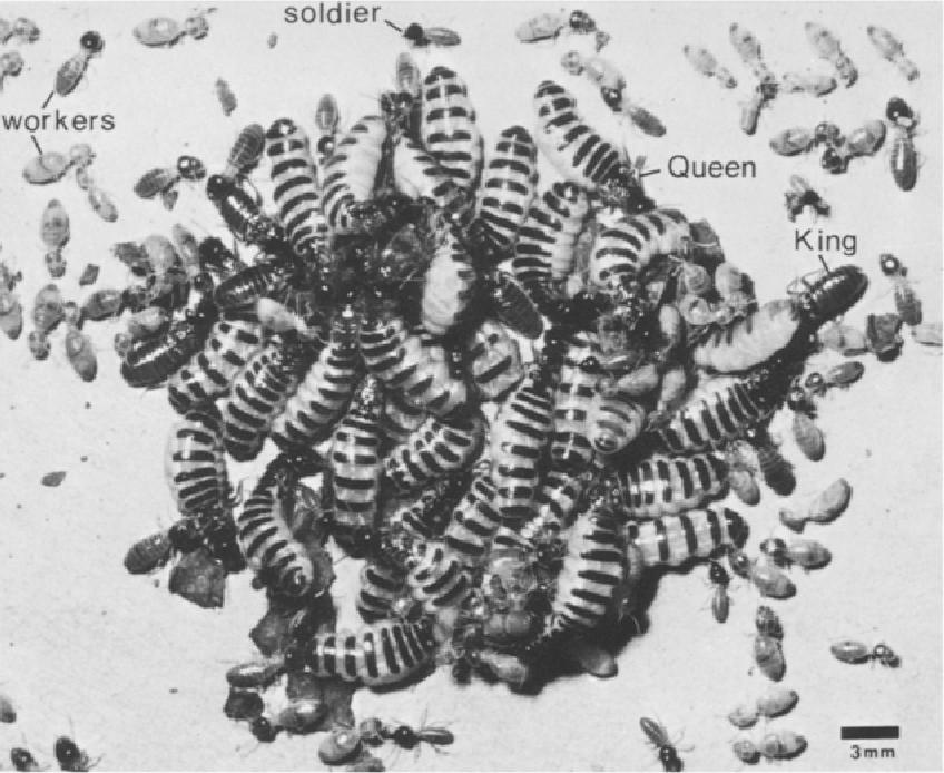 Polygyny in the Neotropical termite Nasutitermes corniger: life ...