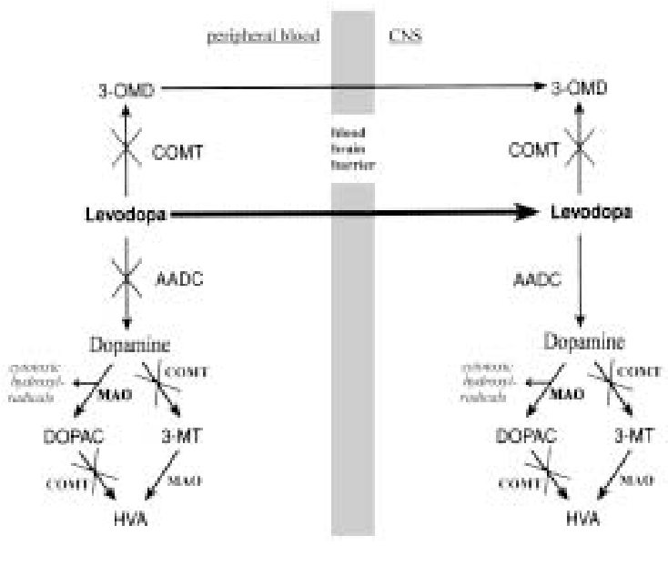 Fig. 1. Metabolism of levodopa and dopamine in the periphery and CNS