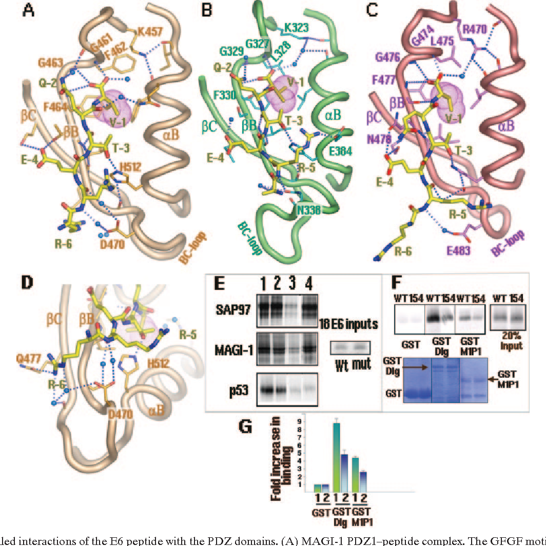 Structures Of A Human Papillomavirus HPV E6 Polypeptide Bound To