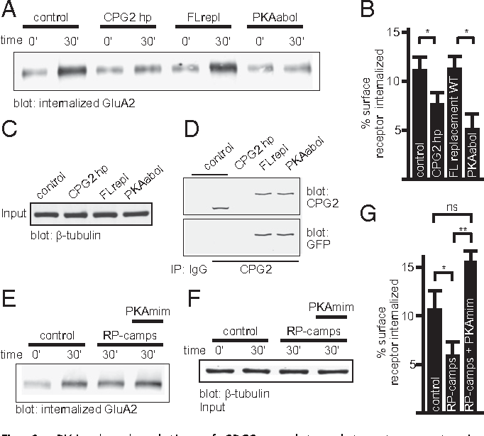 Fig. 6. PKA phosphorylation of CPG2 regulates glutamate receptor internalization. (A) Surface proteins of cultured cortical neurons infected with virus encoding either GFP (control), or the indicated CPG2 knockdown or replacement cassette, were labeled with a cleavable biotin tag. After 30 min at 37 °C remaining surface labels were stripped and internalized membrane proteins were affinity-purified. Representative Western blot for GluA2 is shown. (B) Quantification of internalized GluA2 after 30 min. Control, n = 20; CPG2hp, n = 22; FLreplace WT, n = 14; PKAabol, n = 19; *P < 0.05, Student t test. (C) Western blot of virally infected neurons shown in A probed for tubulin, showing equal input material for the internalization assay. (D) Western blots showing effective removal of endogenous CPG2 by shRNA knockdown, and expression of GFP fusions to FL replacement WT or the PKAabol mutant. (E) Acute blockade of PKA signaling with RP-camps leads to reduced GluA2 internalization. Introduction of a CPG2 phospho-mimetic S890E/S913E double mutant (PKAmim) overrides this effect. (F) Western blot of virally infected neurons shown in E probed for tubulin, showing equal input material for the internalization assay. (G) Quantification of the results from the experiment in E. Control, n = 16; RPcamps, n = 19; PKAmim, n = 5; *P < 0.05, Student t test.