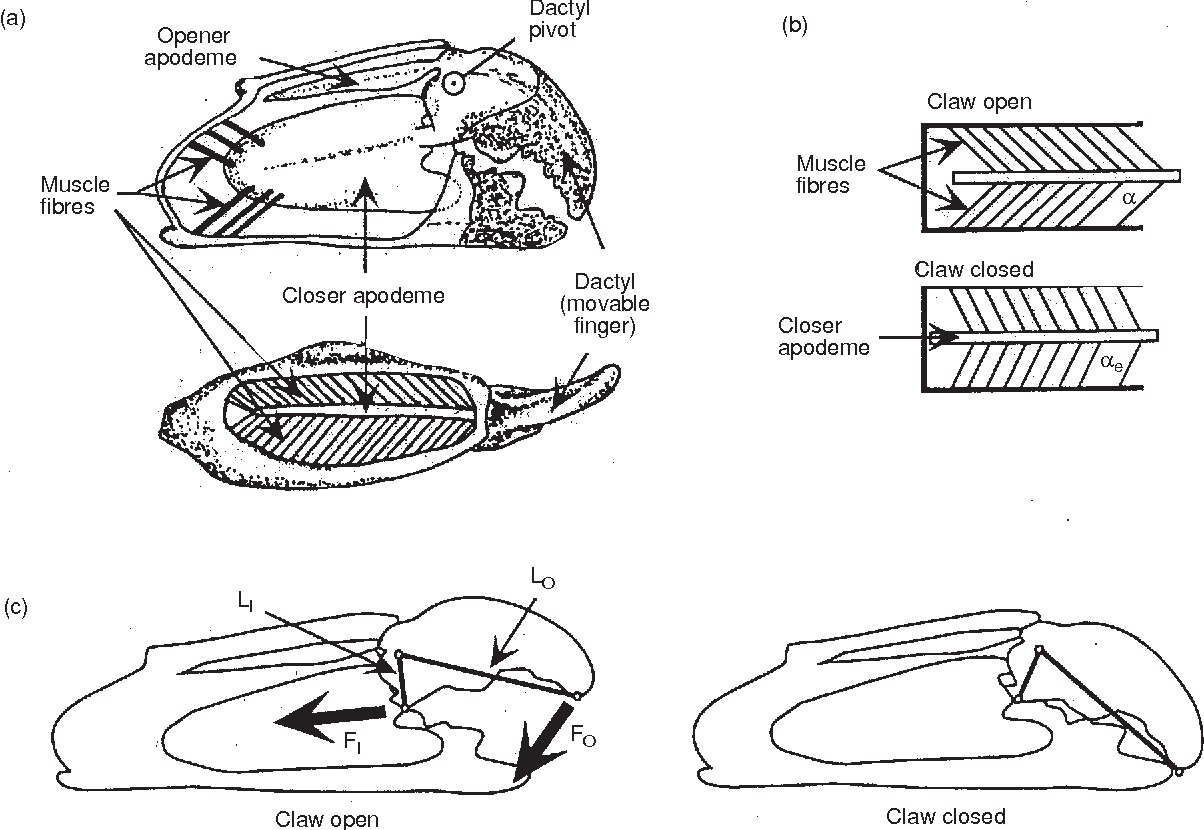 schematic diagrams of claw internal anatomy and mechanical function  (a