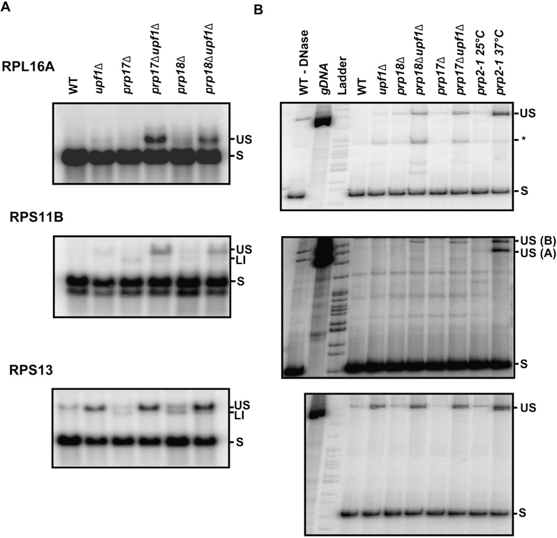 FIGURE 4. Northern blot and RT-PCR analysis of splicing in wild-type, upf1D, prp17D, prp18D, prp17Dupf1D, and prp18Dupf1D mutants. Shown are Northern blots (A) or RT-PCR (B) analysis of the indicated mRNAs (RPL16A, RPS11B, RPS13) in the corresponding strains. For the RT-PCR analysis, a genomic DNA sample and RNAs extracted from a prp2-1 strain grown at 25°C or shifted for 30 min to 37°C were included as positive controls for the detection of unspliced species. The migration of the unspliced pre-mRNAs and spliced mRNAs are indicated by US and S, respectively. LI indicates the lariat intron-exon2 intermediates detected by Northern blot in the prp17D, prp18D mutants. The species labeled * for RPL16A were not mapped and might correspond to a cryptic splicing event. For the RPS11 RT-PCR panel, the oligonucleotides used did not discriminate between the RPS11A and RPS11B copies; therefore, both unspliced species are amplified by PCR.