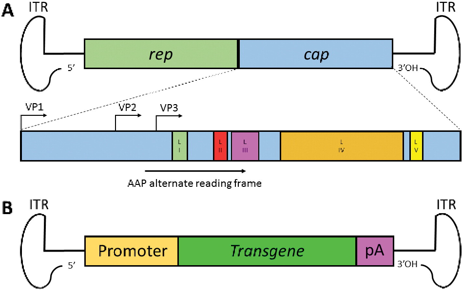 Figure 1 from Adeno-associated virus (AAV) vectors in cancer gene