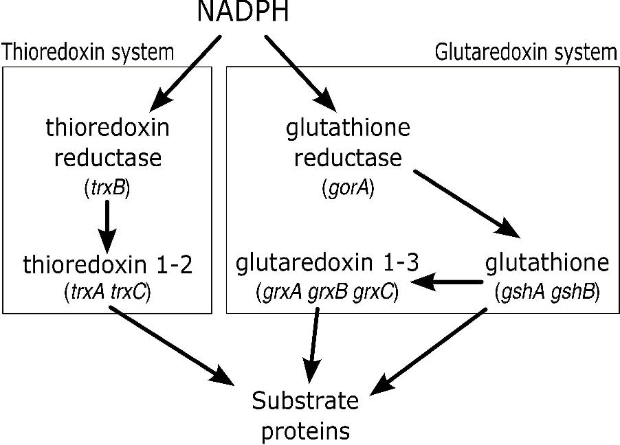PDF] The engineering of de novo pathways for oxidative protein