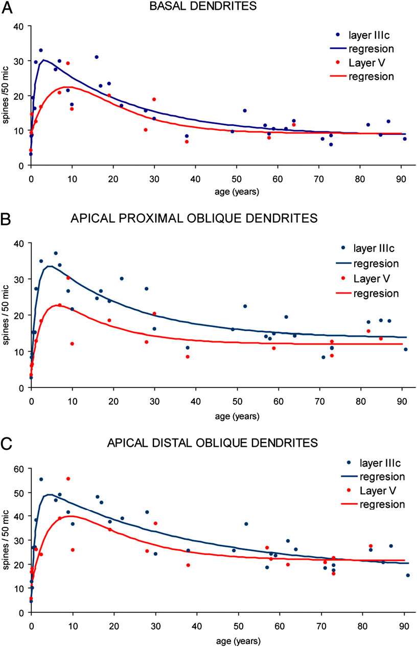 Fig. 2. The DSD, as defined in Fig. 1, plotted at the linear scale to illustrate the dynamics of changes occurring during the 100-y human lifespan. Regression curves fit the distribution of data from the basal dendrites (A), apical proximal oblique dendrites (B), and apical distal oblique dendrites (C) of pyramidal cells from layer IIIc and V. In all cases the equation of the curves is a double exponential function in the form: y = a*exp(−bt) + c*exp (−dt) + e, where a, b, c, d, and e are fixed coefficients, and t is time in years (Table S3).