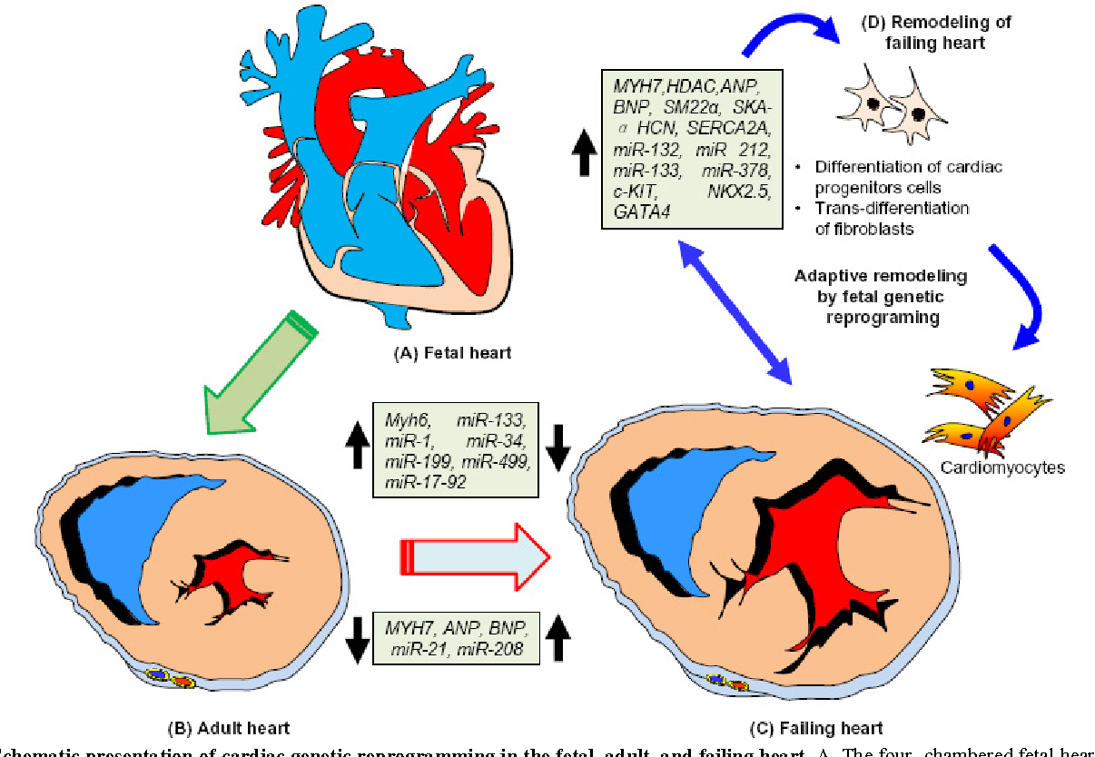 Harnessing fetal and adult genetic reprograming for therapy of heart figure 3 ccuart Image collections