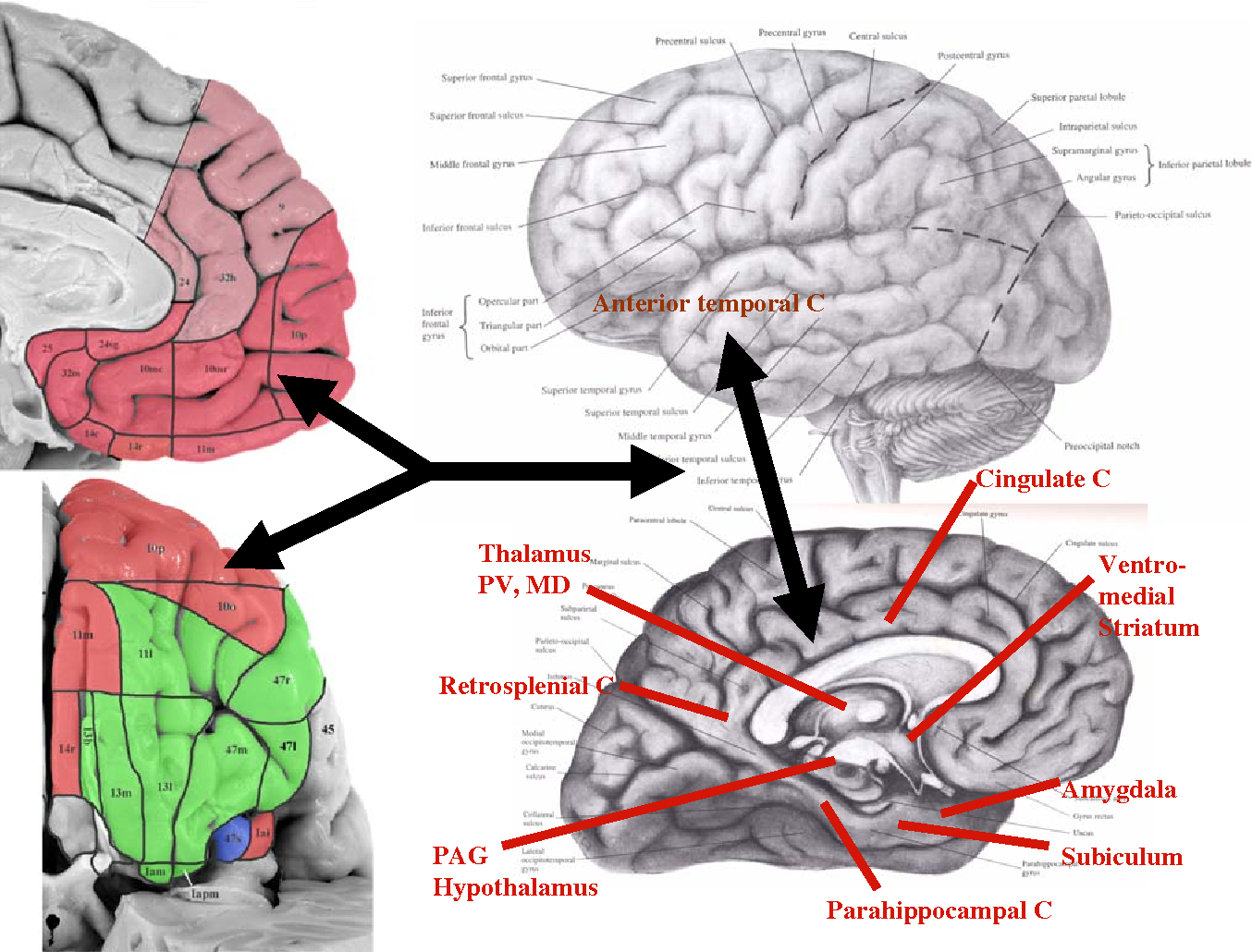 Brain structural and functional abnormalities in mood disorders ...