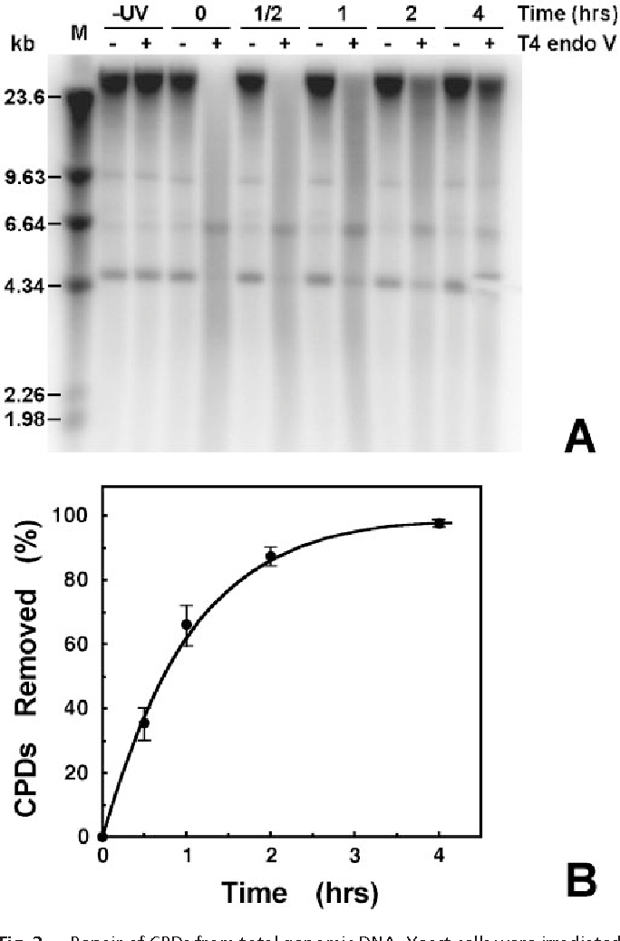 Fig. 3. Repair of CPDs from total genomic DNA. Yeast cells were irradiated with 80 J m2 UV and harvested at the times indicated. Total DNA was purified, treated with T4 endo V, and separated on 1% alkaline agarose gels. After blotting, filters were hybridized with random primer-labeled total genomic DNA. (A) Representative Southern blot. Repair times (in h) after UV irradiation are indicated above the lanes. Other labels are: UV, DNA from unirradiated cells; and , samples mock-treated or treated with T4 endo V, respectively; and M, DNA digested with HindIII. (B) Percent of CPDs removed as a function of repair time. The number of CPDs present in genomic DNA at each time was determined as described (35). Data are the mean 1 SD of three independent experiments.