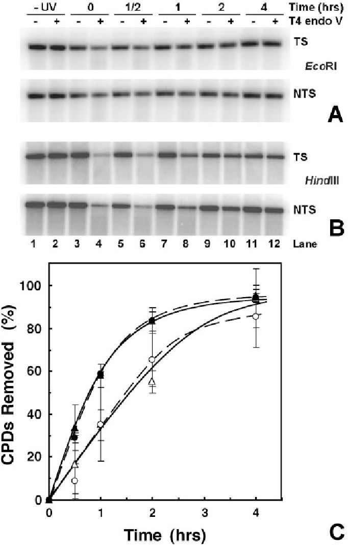 Fig. 4. Repair of CPDs from total rDNA. DNA from cells, irradiated as in Fig. 3, was digested with either EcoRI or HindIII before treatment with T4 endo V. Filters were hybridized with strand-specific riboprobes. (A) PhosphorImage for the TS and NTS of EcoRI-digested total rDNA. (B) PhosphorImage for the TS and NTS of HindIII-digested total rDNA. Labeling of the gel is the same as in Fig. 3. (C) Quantification of PhosphorImages. DNA repair is expressed as percent of CPDs removed vs. repair time. Filled and empty symbols represent data for the TS and the NTS, respectively. Circles and dashed lines denote HindIII digests, and triangles and solid lines denote EcoRI digests. Data are the mean 1 SD of four independent experiments.