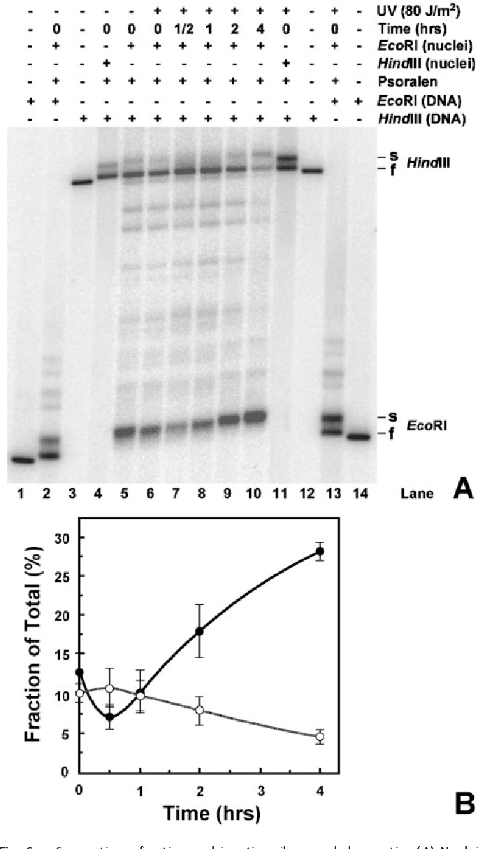 Fig. 6. Separation of active and inactive ribosomal chromatin. (A) Nuclei were isolated from unirradiated (lane 5) and irradiated (lanes 6–10) cells that were harvested after different repair times. These nuclei were digested with EcoRI before psoralen crosslinking (lanes 5–10). The isolated DNA was then digested with HindIII, separated on a 1% native agarose gel, blotted, and hybridized with labeled rDNA probe (see Fig. 2). As controls, genomic DNA was isolated from uncrosslinked cells and digested with either EcoRI (lanes 1 and 14) or HindIII (lanes 3 and 12). The presence of active and inactive rDNA chromatin was monitored by digesting nuclei with EcoRI or HindIII before psoralen crosslinking and by redigesting the isolated DNA with EcoRI and HindIII, respectively (lanes 2 and 13, and lanes 4 and 11). Labels on the right denote active rDNA, s- (slow) band, and inactive rDNA, f- (fast) band. (B) Signals of the EcoRI and HindIII bands in each lanes were quantified and expressed as percent of the total signal measured in the corresponding lanes. Data are the mean 1 SD of three independent experiments.