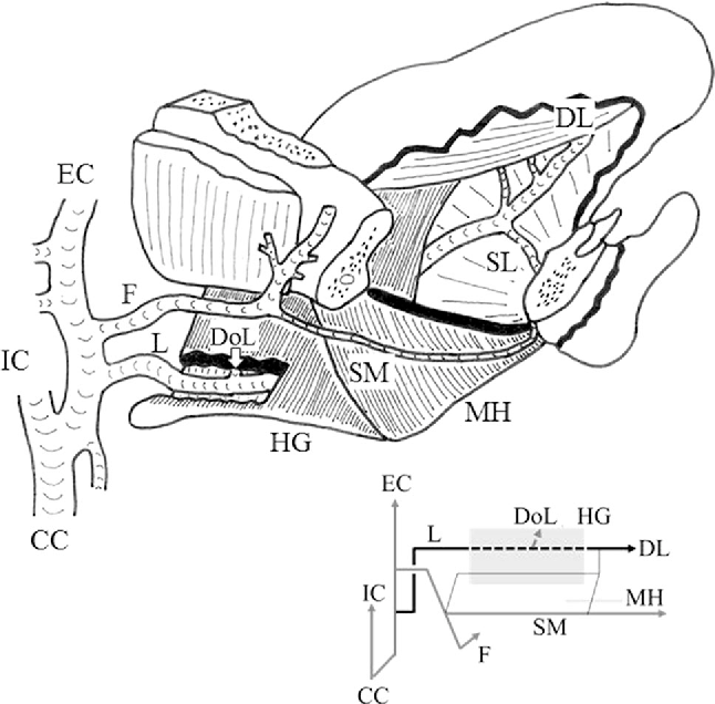 Gross Anatomical Classification Of The Courses Of The Human Lingual