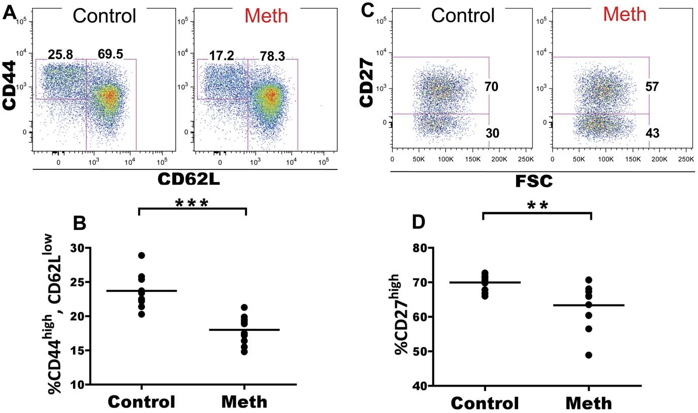 Figure 5. Meth reduces proportions of CD62Llow, CD44high splenic CD4 T cells and these cells exhibit lower CD27 expression. Splenic CD4 T cells were examined after meth treatment to determine if meth alters surface phenotypes suggesting activation/antigen experience and effector status. A. Representative gating showing CD62L and CD44 on CD4 T cells. B. Meth causes a reduction in proportion of CD44high, CD62Llow CD4 T cells. C. CD27 expression by CD44high, CD62Llow CD4 T cells. D. CD44high, CD62Llow CD4 T cells from meth treated animals exhibit a lower proportion of cells expressing CD27 at a high level. **p,0.01, ***p,0.001 calculated by Mann-Whitney U Test. Bars represent mean. Data are from 2 experiments of 5 animals per treatment group per experiment. doi:10.1371/journal.pone.0049897.g005
