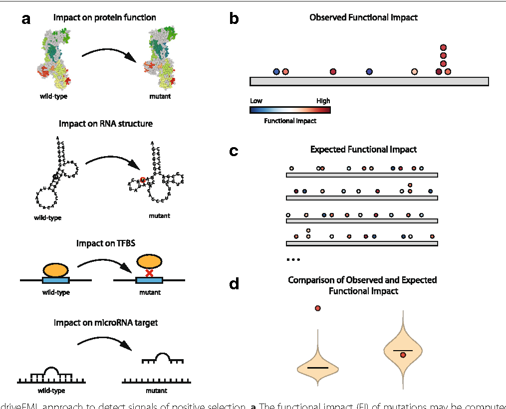 Noncoding Mutations Contribute To >> Figure 1 From Oncodrivefml A General Framework To Identify Coding