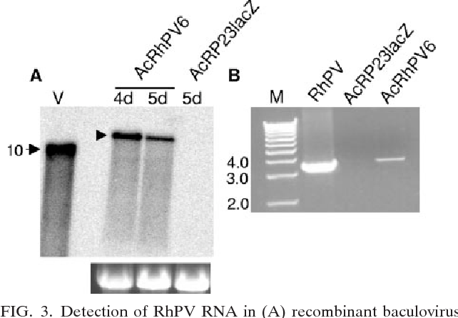 FIG. 3. Detection of RhPV RNA in (A) recombinant baculovirus infected Sf21 cells and (B) baculovirus-produced virus particles. (A) Northern blot hybridization of total cellular RNA from Sf21 cells infected with AcRhPV6 at 4 and 5 dpi or AcRP23lacZ at 5 dpi. Lane V contains 100 ng of viral RNA (10 kb). 32P-labeled RNA complementary to the 3 end of the RhPV genome was used as a probe. The bottom panel represents ethidium bromide-stained rRNA (used as a loading control). (B) RT-PCR of RNA extracted from purified virus particles. Lane M, 1-kb double-stranded DNA ladder; RhPV, RhPV RNA from aphid-derived virions; AcRP23lacZ, RNA extracted from AcRP23LacZ-infected Sf21 cells; AcRhPV6, RNA extracted from purified RhPV particles from AcRhPV6-infected Sf21 cells.