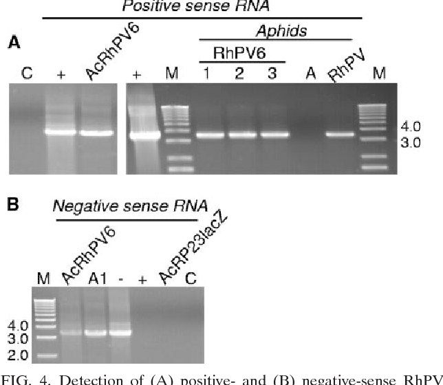 FIG. 4. Detection of (A) positive- and (B) negative-sense RhPV RNAs in AcRhPV6-infected Sf21 cells and in aphids fed on baculovirus-derived virus particles by RT-PCR. Lane M, 1-kb doublestranded DNA ladder. (A) Templates: C, control with no reverse transcriptase; , positive-sense T7 in vitro transcript of RhPV RNA; AcRhPV6, AcRhPV6-infected Sf21 cells; 1 through 3, total RNA from three replicates of aphids 17 days after feeding on baculovirus-derived RhPV6 virus particles; A, virus-free aphids; RhPV, RhPV-infected aphids. (B) Templates: AcRhPV6, total RNA from AcRhPV6-infected Sf21 cells; A1, total RNA from aphids fed on baculovirus-derived RhPV6 virus particles; , positive control, negative-sense transcript (SP6); , negative control, positive-sense transcript (T7); AcRP23 lacZ, RNA from AcRP23lacZ-infected Sf21 cells; C, control with no reverse transcriptase.