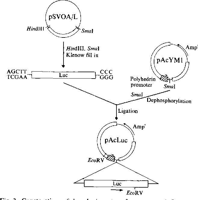 Fig. 3. Construction of baculovirus transfer vector pAcLuc. The luciferase gene coding region was excised with HindlII and Sinai, filled in with the Klenow fragment ofDNA polymerase I and ligated into the SmaI site of the pAcYM1 polylinker.