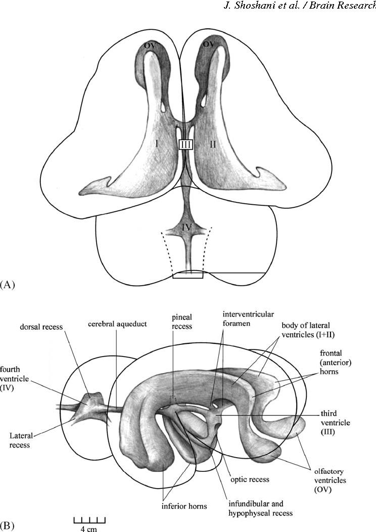 Figure 6 From Elephant Brain Part I Gross Morphology Functions