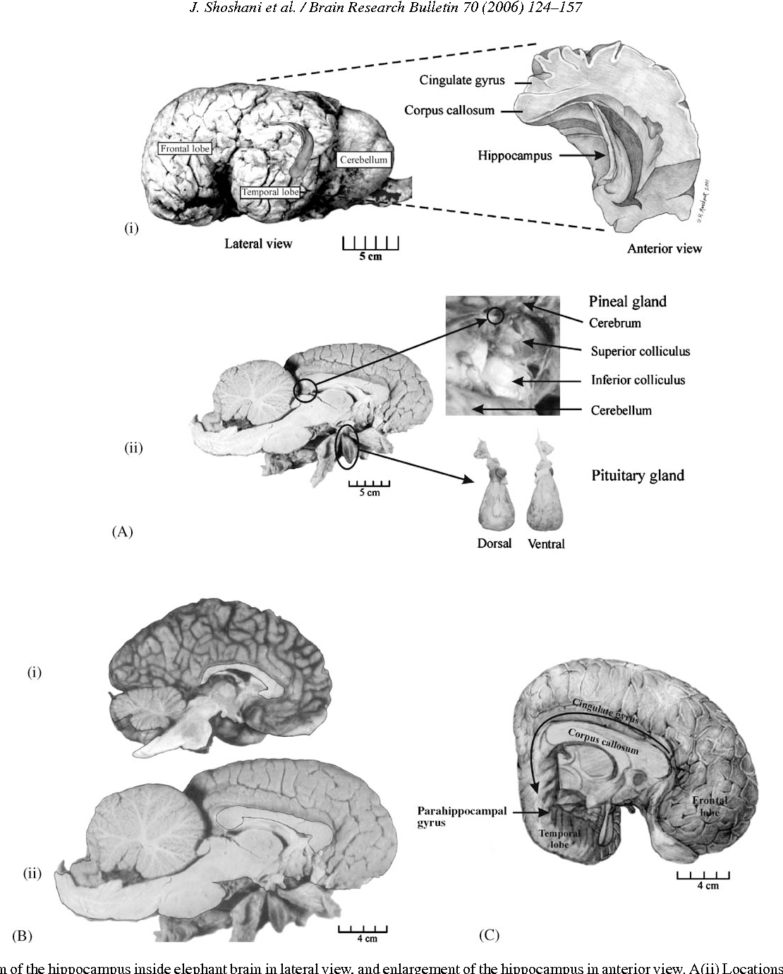 Figure 8 from Elephant brain. Part I: gross morphology, functions ...