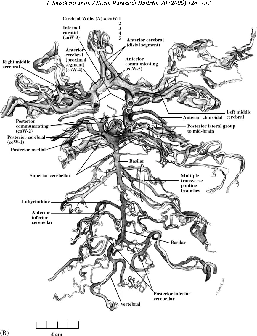 Elephant brain. Part I: gross morphology, functions, comparative ...