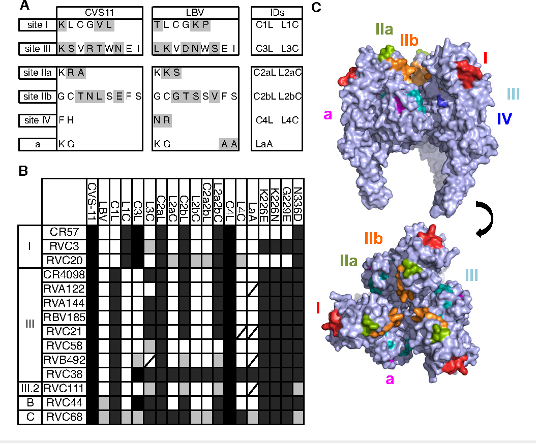 Figure 5. Antibodies epitope mapping using antigenic site swapping in chimeric pseudotyped viruses. A Sequence of the CVS-11 and LBV antigenic sites I, III, IIa, IIb, IV, and a. Highlighted in gray are the residues that differ between CVS-11 and LBV. B The scheme shows the results of neutralization of CVS-11, LBV (strain NIG56-RV1), different chimeric CVS-11 and LBV variants and different CVS-11 mutants by the panel of 12 selected monoclonal antibodies and the reference antibodies CR57 and CR4098. Black cells indicate full neutralization, gray cells partial neutralization, and white cells no neutralization. Strikethrough cells, not tested. Schematic showing generation of epitope swapped G protein is shown in Fig EV1. C Side view (upper) and top view (lower) of a surface rendering of the homotrimeric prefusion structure of VSV G (PDB, 2j6j). Rabies antigenic sites, highlighted in