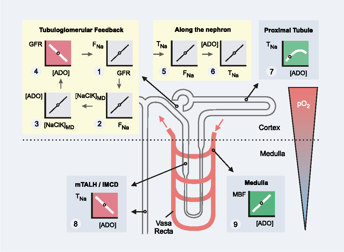 Figure 10 From Adenosine And Kidney Function Semantic Scholar