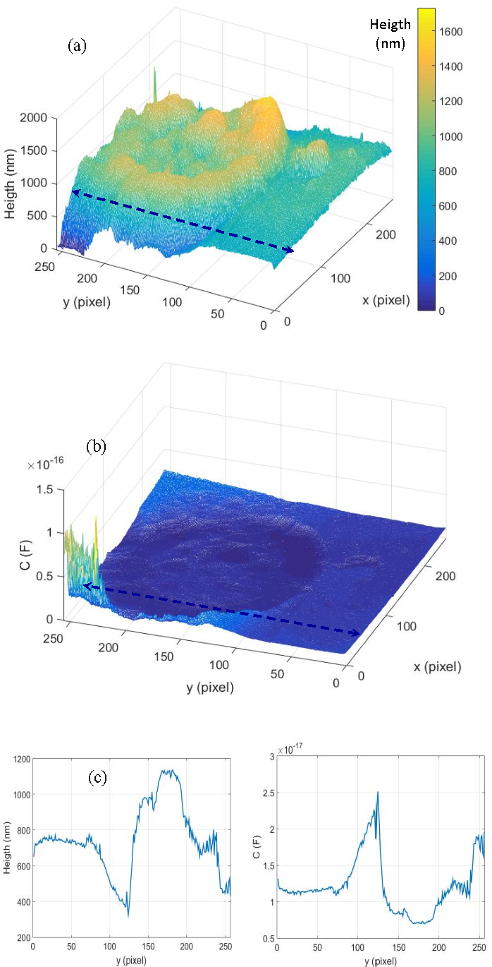 Fig. 4. a) Topography of the untreated cell; b) capactance corresponding to the height of (a) in the tip-sphere approximation; c) section of (a), dashed line x=20; d) section of (b), dashed line x=20.