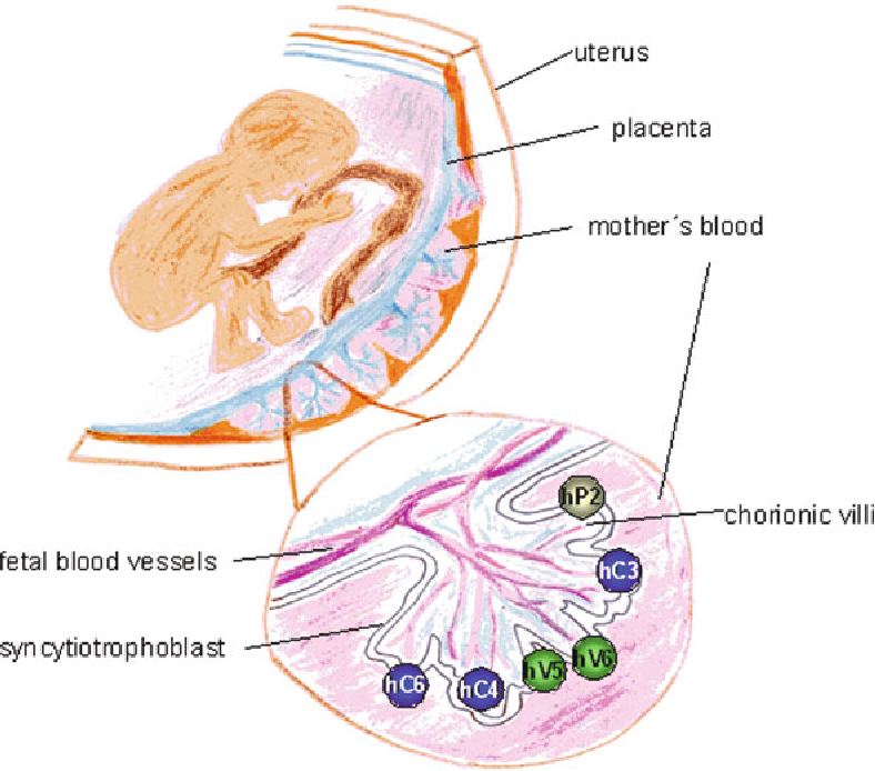 Trp Channels In Female Reproductive Organs And Placenta Semantic