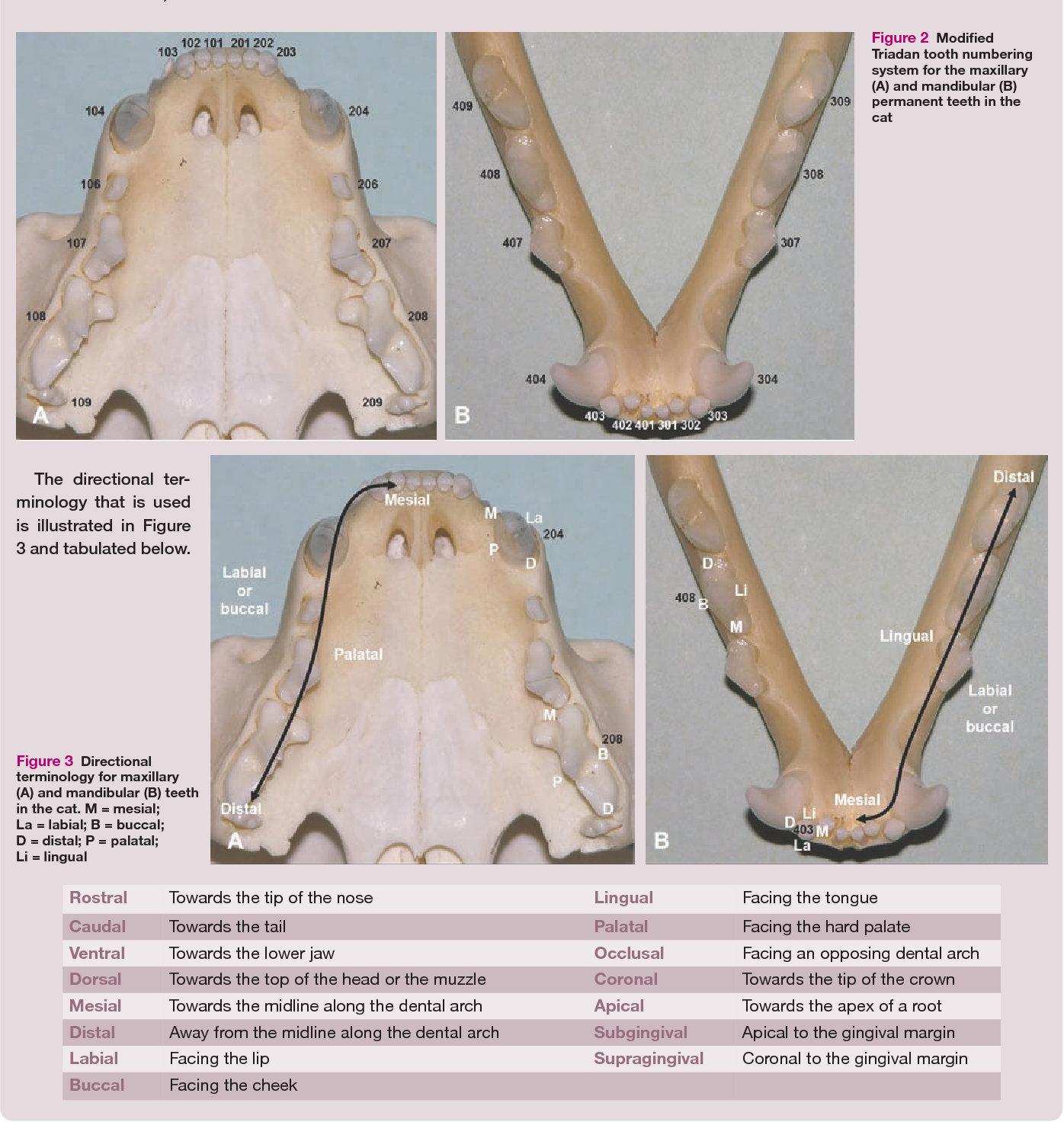 Applied feline oral anatomy and tooth extraction techniques: an ...