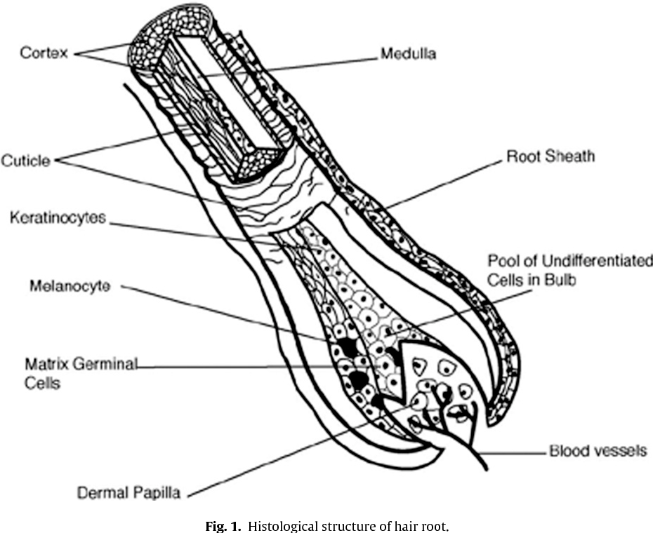 Figure 1 from DNA from keratinous tissue. Part I: hair and nail ...