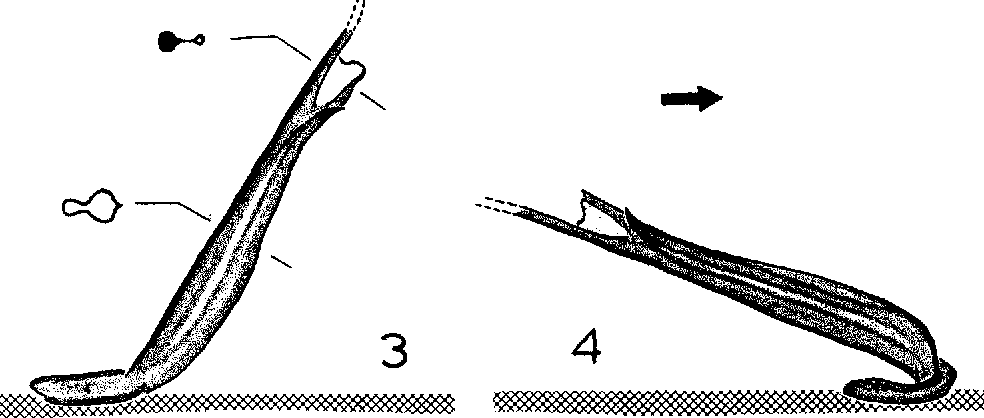 Figure 3-4 from SPERMATOPHORES OF SOME NORTH AMERICAN SCORPION S