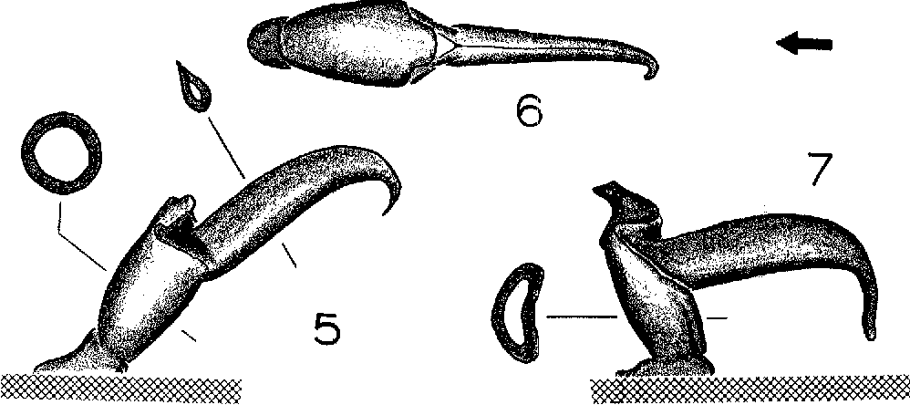 Figure 5-7 from SPERMATOPHORES OF SOME NORTH AMERICAN SCORPION S