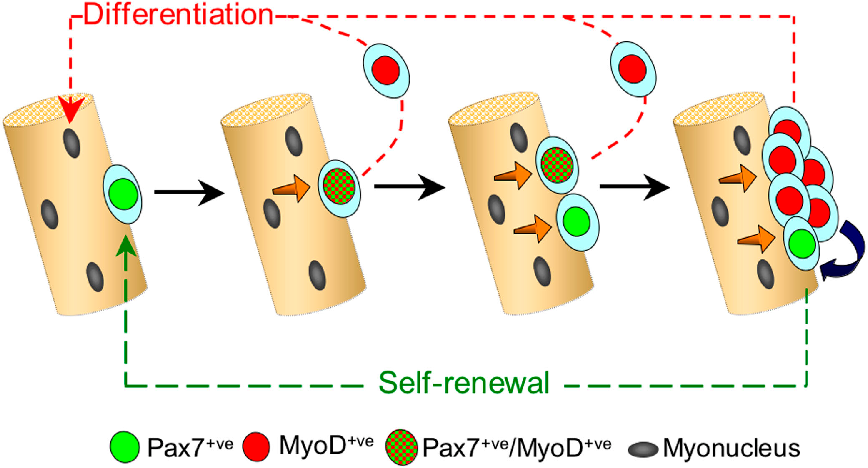 Figure 6. Model of satellite cell self-renewal. Quiescent satellite cells (green) activate to coexpress Pax7 and MyoD (green and red tartan), and then most proliferate, down-regulate Pax7, maintain MyoD (red), and differentiate (red pathway). However, activated Pax7 ve/MyoD ve (green and red tartan) satellite cells can also divide to give rise to cells that adopt a different fate. These give rise to clusters of cells containing both Pax7 ve/MyoD ve (red) progeny, whereas others down-regulate MyoD expression and cycle while maintaining only Pax7 (green). These clusters may grow by the further generation of cells with divergent fates. Pax7 ve/MyoD ve cells (green) become quiescent, thus renewing the satellite cell pool (green pathway), whereas the MyoD ve cells (red) differentiate to produce myonuclei (red pathway). Signaling from the myofiber (orange arrows) and/or between cells within the clusters (blue arrow) may dictate which fate the satellite cell adopts.