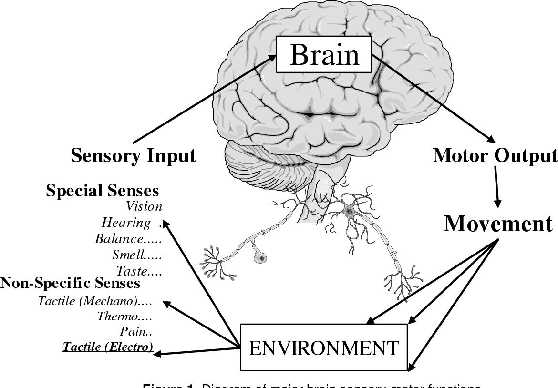 Figure 1 from brainport an alternative input to the brain diagram of major brain sensory motor functions ccuart Choice Image