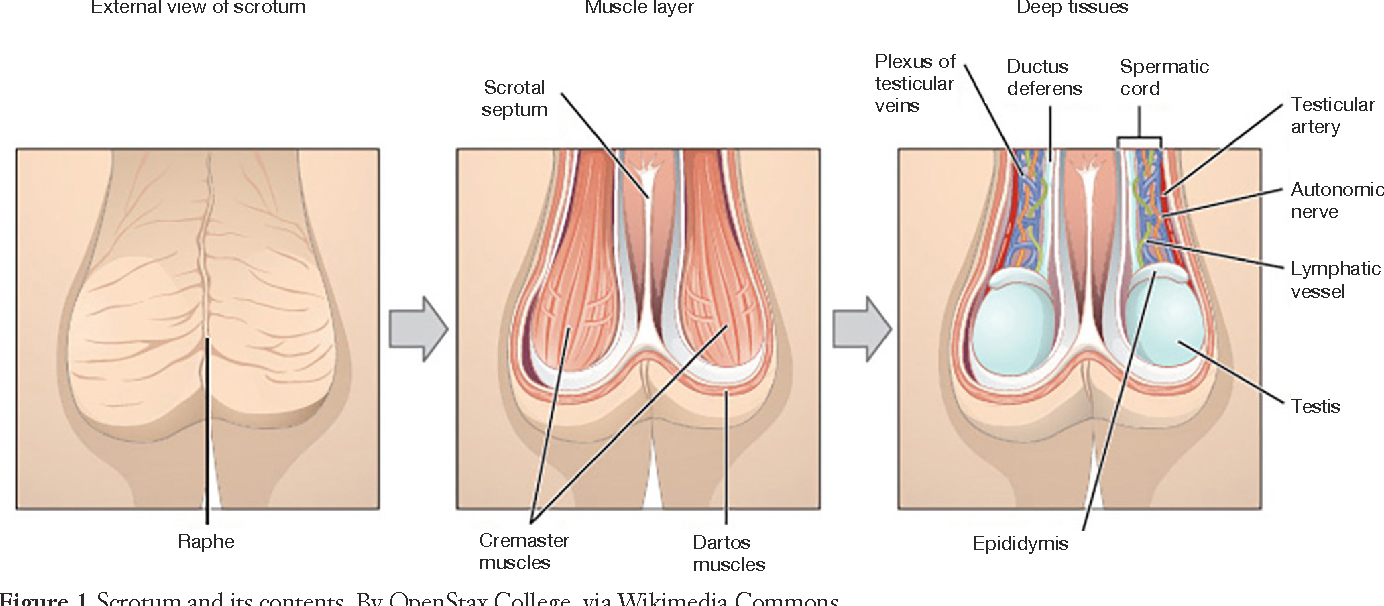 Anatomy and physiology of chronic scrotal pain - Semantic Scholar