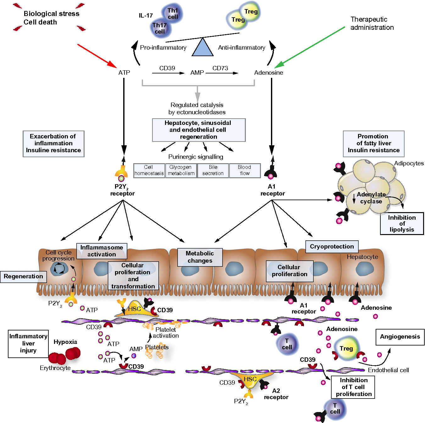 Pathological Roles Of Purinergic Signaling In The Liver Semantic