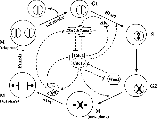 Figure 1 From Mathematical Model Of The Cell Division Cycle Of