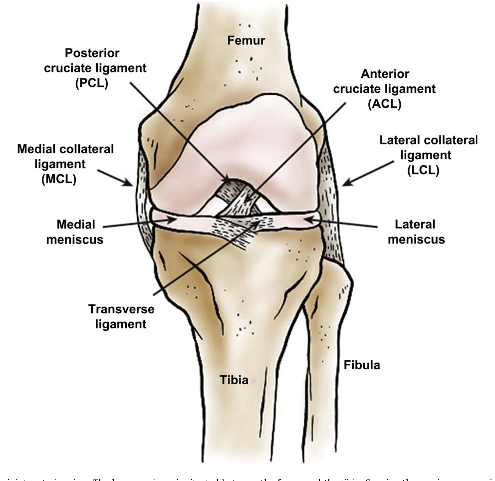 The knee meniscus structure function pathophysiology current figure 1 ccuart Image collections